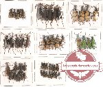 Scientific lot no. 4 Meloidae (53 pcs)