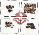 Dytiscidae Scientific lot no. 3 (cca 160 pcs)