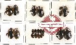 Dytiscidae Scientific lot no. 15 (21 pcs)