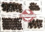 Dytiscidae Scientific lot no. 4 (99 pcs)