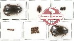 Dytiscidae Scientific lot no. 16 (29 pcs)