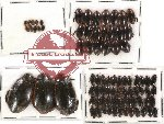 Dytiscidae Scientific lot no. 6 (81 pcs)