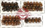 Scientific lot no. 20 Rutelinae (39 pcs)