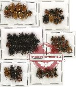 Scientific lot no. 19 Rutelinae (63 pcs)