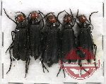 Scientific lot no. 13 Meloidae - Epicauta sp. (5 pcs)