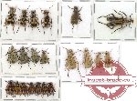 Scientific lot no. 15 Meloidae (21 pcs)