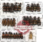 Scientific lot no. 14 Meloidae (28 pcs)
