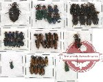 Scientific lot no. 19 Meloidae (49 pcs)