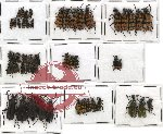Scientific lot no. 18 Meloidae (53 pcs)