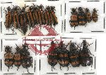 Scientific lot no. 12 Meloidae (19 pcs)