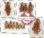 Scientific lot no. 17 Meloidae (12 pcs)