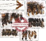 Scientific lot no. 53 Hymenoptera (39 pcs)
