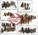 Scientific lot no. 61 Hymenoptera (40 pcs)