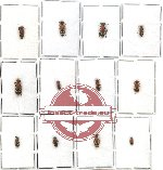 Scientific lot no. 64 Hymenoptera - Mutilidae (12 pcs)
