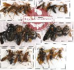 Scientific lot no. 58A Hymenoptera (24 pcs)