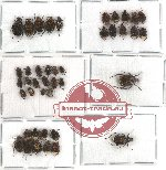 Valginae scientific lot no. 5 (42 pcs)