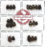 Valginae scientific lot no. 3 (21 pcs - 2 pcs A2)