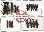 Scientific lot no. 23 Staphylinidae (18 pcs - 9 pcs A2)