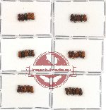 Scientific lot no. 4 Scolytidae (30 pcs)