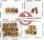 Scientific lot no. 14 Hopliinae (33 pcs)