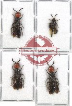 Scientific lot no. 65 Hymenoptera (4 pcs)