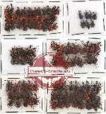 Scientific lot no. 14 Attelabidae (105 pcs)