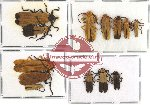 Scientific lot no. 11 Lycidae (13 pcs - 3 pcs A2)