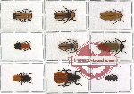 Scientific lot no. 12 Lycidae (9 pcs)