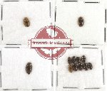 Chelonaridae Scientific lot no. 5 (12 pcs)
