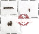Colydidae Scientific lot no. 3 (4 pcs)