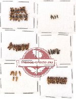 Scientific lot no. 32 Staphylinidae (50 pcs)