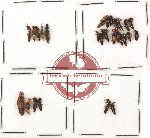 Scientific lot no. 37A Staphylinidae (27 pcs)