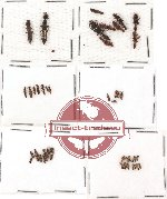 Scientific lot no. 40 Staphylinidae (51 pcs)