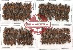 Scientific lot no. 35 Staphylinidae (80 pcs)