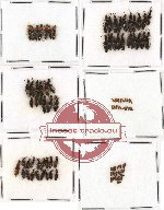 Scientific lot no. 29 Staphylinidae (97 pcs)