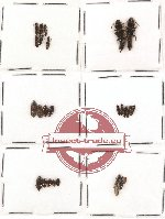 Scientific lot no. 37 Staphylinidae (25 pcs)