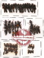 Scientific lot no. 28 Staphylinidae (55 pcs)