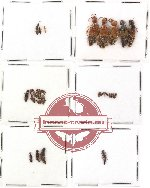 Scientific lot no. 36 Staphylinidae (40 pcs)