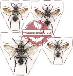 Scientific lot no. 67 Hymenoptera (4 pcs A, A-, A2)