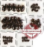 Scientific lot no. 28 Dytiscidae (55 pcs)
