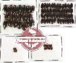 Scientific lot no. 25 Dytiscidae (84 pcs)