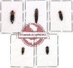 Scientific lot no. 30 Elateridae (5 pcs - 1 pcs A2)