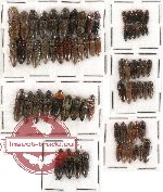 Scientific lot no. 32 Elateridae (70 pcs)
