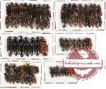 Scientific lot no. 34 Elateridae (78 pcs)