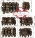 Scientific lot no. 29 Elateridae (29 pcs)