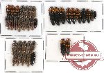 Scientific lot no. 28 Elateridae (37 pcs)