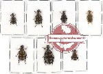 Scientific lot no. 23 Meloidae (7 pcs)