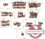 Scientific lot no. 2 Attelabidae (132 pcs)