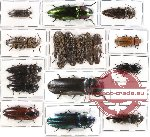 Scientific lot no. 37 Elateridae (18 pcs)