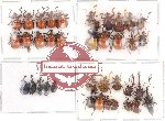 Scientific lot no. 10 Attelabidae (37 pcs)